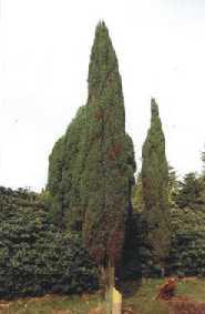 Juniperus Hibernica