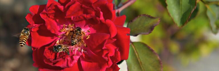 Bijtjes op roos