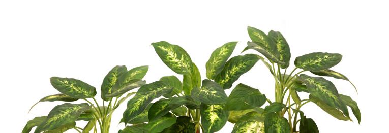 Dieffenbachia camilla verzorgen
