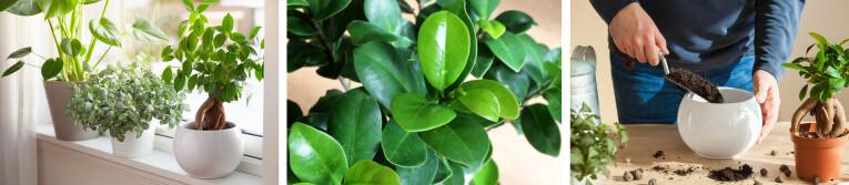 Ficus microcarpa 'Ginseng' verzorgen als kamerplant