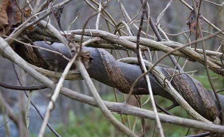Spiraalsgewijs groeiende kamperfoelie. stevige stengels