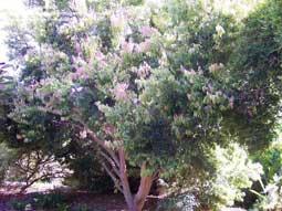 kaneelboom