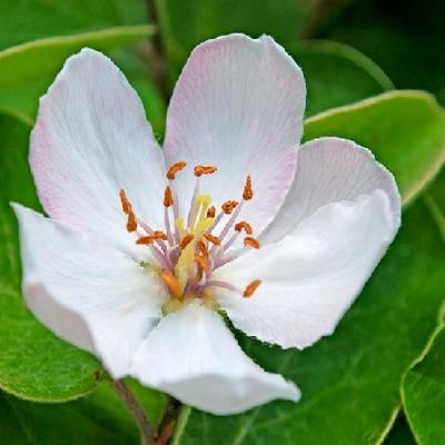 Bloemen van de kweepeer.