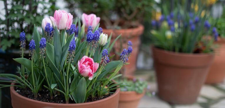 Bloembollen planten in potten