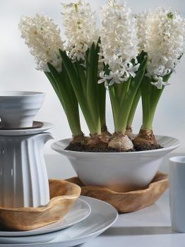 geprepareerde Hyacinthus Carnegie - wit