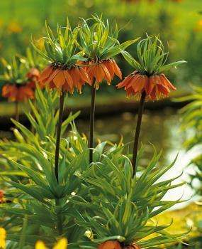Fritillaria imperialis Rubra -