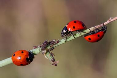 Lieveheersbeestjes als natuurlijk wapen tegen bladluizen