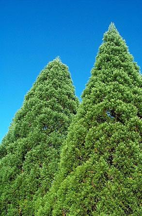 mammoetboom kunnen tot 90 meter hoog worden