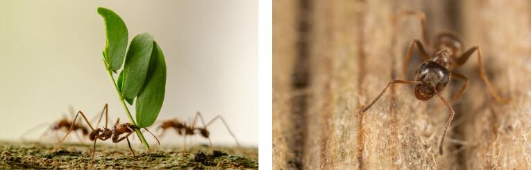 Mieren kunnen 10 tot 50 keer hun eigen gewicht dragen