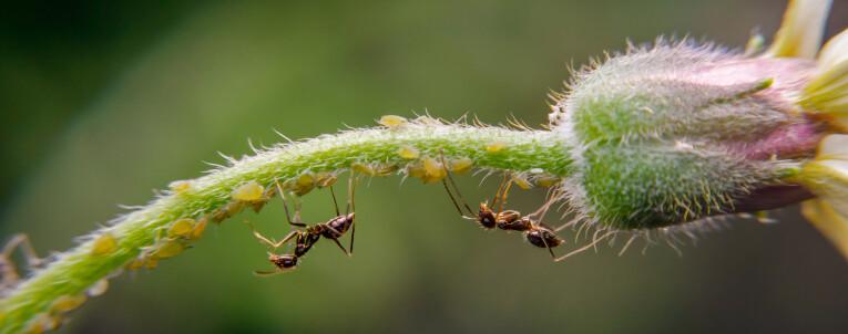 Mieren leven samen met bladluizen