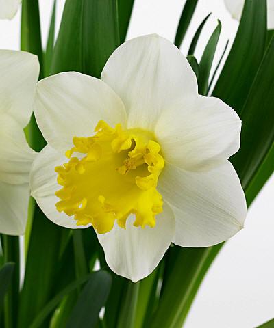 narcis of paasbloem ook paaslelie genoemd kan ook in potten worden gehouden in de huiskamer