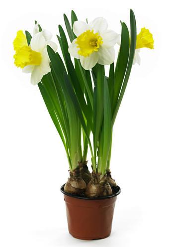 Narcis in pot als kamerplant