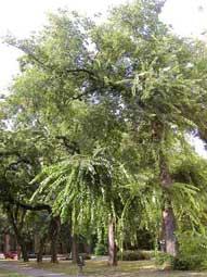 Amerikaanse zwepenboom - bodjos