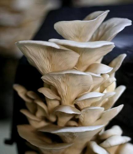 oesterzwammen kweken