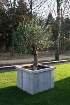 olijfbomen overwinteren