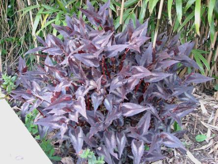 Persicaria Red Dragon in de plantenborder