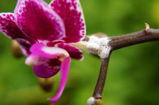 Wolluizen op orchidee