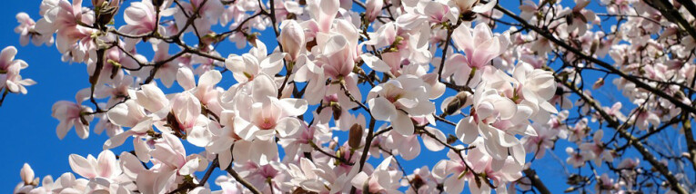 Magnolia in bloei
