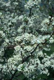 bloeiende kroosjespruim