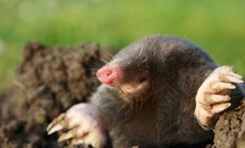 een mol in de tuin