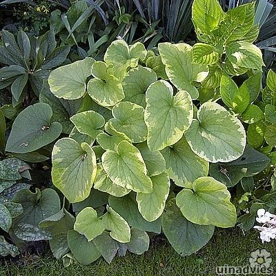 mooie vaste planten die goed groeien in de schaduw op een natte bodem