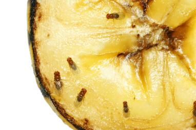 Rottend fruit trekt fruitvliegen aan