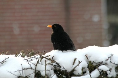 merel in de tuin - tuinvogels winter