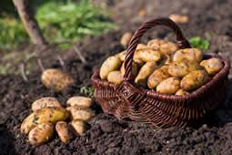 april aardappelen planten