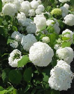 sneeuwbalhortensia 'Annabelle'