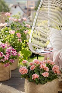 Geraniums in de tuin