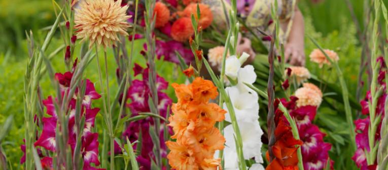 Plukken van gladiolen als snijbloem
