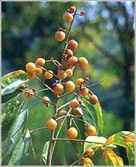 rijpe vruchten