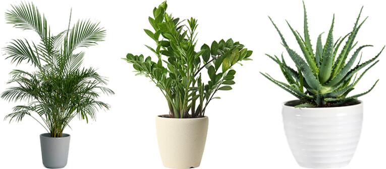 Kentia palm  Zamioculcas  Aloë Vera