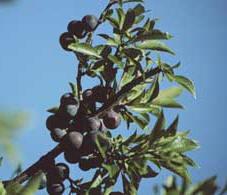 vruchten van Prunus maritima