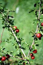 vruchten van Prunus subcordata