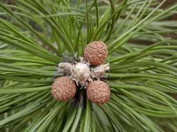 jonge kegels en vrouwelijke bloemen van Pinus nigra