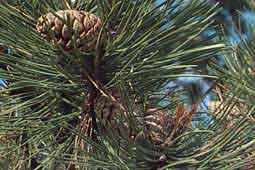 kegels van Pinus nigra