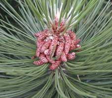 mannelijke bloemen van Pinus nigra
