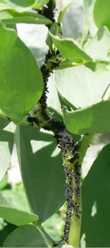 bladluizen biologisch bestrijden