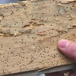 Houtwormen