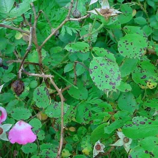Anthracnose op rozen bestrijden