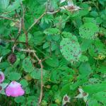 Anthracnose op rozen
