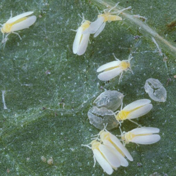 Witte vlieg op fruit bestrijden