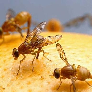 Fruitvliegen bestrijden