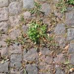 Onkruiden tussen stenen