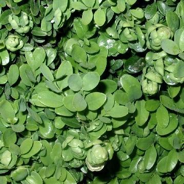 Buxusbladvlo bestrijden