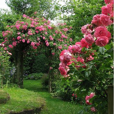 Onkruiden tussen rozen bestrijden