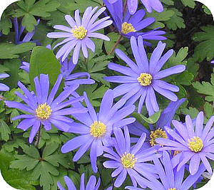 oosterse anemoon of anemone blanda