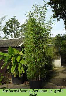 Boom In Pot Op Balkon.Bamboe Planten Als Kuipplant Voor Op Het Terras Of Balkon