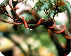 bedraden van een bonsai